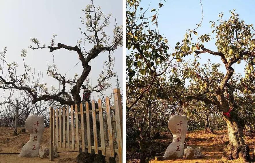 认养千年古梨树,关注古树生态保护